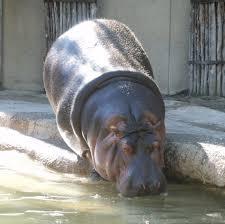 hippopotamus si鑒e social hippopotamus si 100 images hippo si lava i denti dental channel