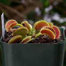 dente venus flytrap for sale a favorite shark tooth venus flytrap