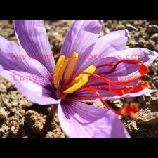 downloadable picture crocus sativus bloom saffron photo 1