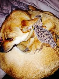 Bearded Dragon Shedding Process by Bearded Dragon And Puppies Let U0027s All Love Each Other Facebook
