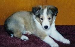 Sheltie Shedding Puppy Coat by Shetland Sheepdog Dog Breed Information And Pictures