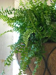 Grow Lamps For House Plants by How To Care For Fern Plants In The Home