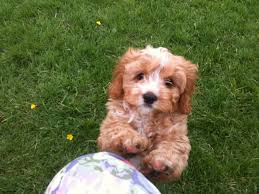 Non Shedding Small Dogs Uk by The 25 Best Cavapoo Puppies For Sale Ideas On Pinterest Cavapoo