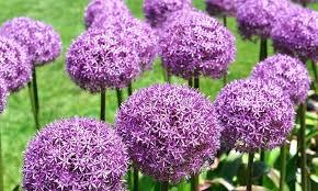 pre order purple allium 15 pk groupon goods