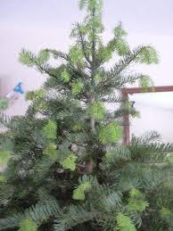Nordmann Fir Christmas Tree Seedlings by Christmas Trees U2013 The Garden Professors