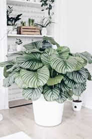 calathea die schönheit aus dem urwald indoor pflanzen