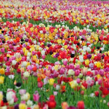 60 days of tulips lasting mix tulip bulbs buy tulip bulbs