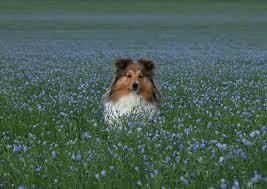 Wallpaper Shetland Sheepdog Adorable