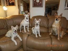 Do All Dogs Shed by Nature U0027s Way Carolina Dogs Faq