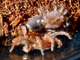 red phase chilean rose hair tarantula grammostola rosea end of