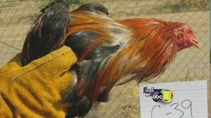 Reedley Pumpkin Patch by Reedley Police Investigate Possible Cockfighting Ring After