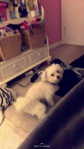 Do Jackie Bichon Shed by Lost Dog West Allis Wisconsin Lucky