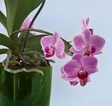 ist die orchidee für das badezimmer geeignet