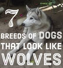 List Of Dogs That Shed A Lot by The Best Seven Dogs That Look Like Wolves Pethelpful