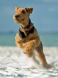 Airedale Terrier Non Shedding by 317 Best Airedale Terriers Images On Pinterest Airedale Terrier