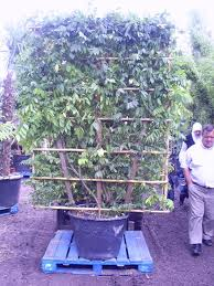 planting wisteria in a pot wisteria sinesis on 7ft x 5ft trellis