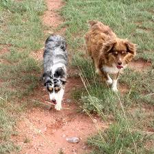 Small Non Shedding Dogs Australia by Miniature Australian Shepherd