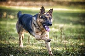 Does Akita Shed A Lot by Akitas Vs German Shepherds Dog Care The Daily Puppy