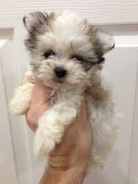 non shedding hypoallergenic hybrid dogs such a havamalt i m not normally a small person but i