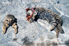 mountain cat andean cat photo leopardus jacobita g110937 arkive