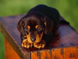 Do Redbone Coonhounds Shed by Black And Tan Coonhound Puppy Riley Looked Identical To This