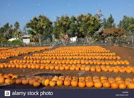 Irvine Ranch Railroad Pumpkin Patch by California Pumpkin Patch Farm Stock Photos U0026 California Pumpkin
