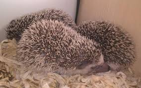 baby hedgehogs local classifieds buy and sell in the uk and