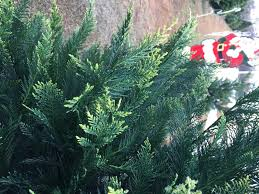Leyland Cypress Christmas Tree by Tis The Season For Political Posturing The Holidays Come To The