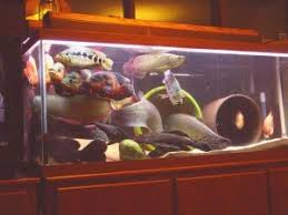 Extra Large Fish Tank Decorations by Is A Large Aquarium Worth It Low Maintenance Pets