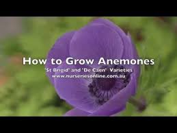 how to plant anemone bulbs st brigid and de caen varieties