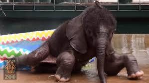 Splish Splash This Elephant Is Having A Blast