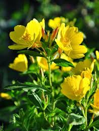 65 best Oenothera images on Pinterest