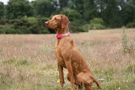 Do Vizsla Dogs Shed by Luna Urban Paws Uk