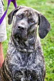 Cane Corso Mastiff Shedding by 103 Best Mastiff Images On Pinterest Big Dogs Mastiff Dogs And