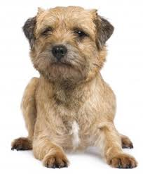 Border Terrier Non Shedding by Border Terriers Breed Information Small Dog Place