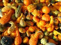 Types Of Pumpkins Grown In Uganda by Watermelon Planting Growing And Harvesting Watermelons The