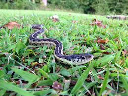Backyard Snakes - Effective Wildlife Solutions Backyard Snakes Effective Wildlife Solutions Snakes And Beyond 65 Best Know Them Images On Pinterest Georgia Of Louisiana Department Fisheries Southern Hognose Snake Florida Texas Archives What Is That 46 The States Slithery Species Nolacom Scarlet Kingsnake Cottonmouth Eastern Living Alongside Idenfication Challenge The Garden Or Garter My Species List New Engdatlantic