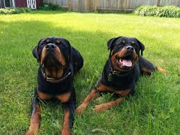 Do Black And Tan Coonhounds Shed by Rottweiler Dog Breed Information Pictures Characteristics