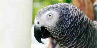Parrot Caught Singing Bodies Hit The Floor by Birds Get Really Stressed When They U0027re Kept In Cages The Dodo