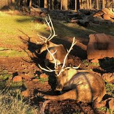 When Do Whitetails Shed Their Antlers by Four Questions Rudolph And Those Reindeer Games Uanews