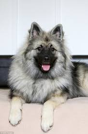 Dogs That Dont Shed Keeshond by Horror As Sydney Dog Owner Finds Her Keeshond Dead In Car Daily