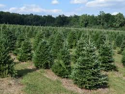 Plantable Christmas Trees Columbus Ohio by Wheeler Farms