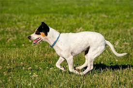 Shed Free Dogs Pictures by Toy Fox Terrier Dog Breed Information Pictures Characteristics
