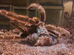 chilean rose hair tarantula molt youtube