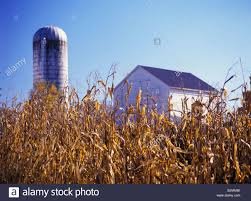 Golden Harvested Corn Stalks, White Barn And Silo In Background ... Amish Buggy Parked In A Barn Lancaster County Pennsylvania Usa Beautiful Red Barns Pa As Shown Stories Barn Stock Photos Images Alamy Reclaimed Wood Fniture Handmade Pa The Choo Model Train Magic See Mom Click Two Long With Metal Silos At Close Up Funny Sleepy Tabby Kitten Sleeping On Bench 123 Best Custom Kitchens Wood Images Pinterest 30 Flooring New Hardwoods