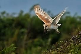 Alan James Photography : Barn Owls With Prey White And Brown Barn Owl Free Image Peakpx Sd Falconry Barn Owl Box Tips Encouraging Owls To Nest Habitat Diet Reproduction Reptile Park Centre Stock Photos Images Alamy Bird Of Prey Tyto Alba Video Footage Videoblocks Barn Owl Tyto A Heart Shaped Face Buff Back Wings Bisham Group Bird Of Prey Clipart Pencil In Color British Struggle Adapt Modern Life Birdguides Beautiful Owls Pulborough Brooks The