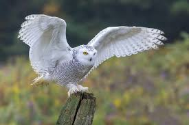 THE SNOWY OWL - Flying Eurasian Eagle Owl Colorfull Winter Stock Photo 304031924 Barn Facts Pictures Diet Breeding Habitat Behaviour Best 25 Owl Sounds Ideas On Pinterest Owls Beautiful Wowzers Blog Centre Gloucester Wikipedia 10 Fascating About Bckling Estate A Barn Owls Home National Trust Birds Of Prey Shavers Creek Raptor Center Kohrphotos The Barn Owl Wallpapersbirds Unique Nature Hd Wallpapers