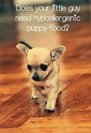 Best Non Shedding Small Dogs by Best 25 Hypoallergenic Puppies Ideas On Pinterest Fluffy Dogs