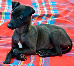 Do Italian Greyhounds Shed A Lot by Whippet Dog Breed Information Pictures Characteristics U0026 Facts