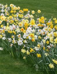 wholesale mixed daffodils 500 bulbs 82001